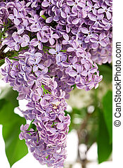 Lilac bush in the spring - Lilac branch with beautiful...