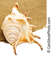 giant spider conch shell on the sand - closeup of a giant...