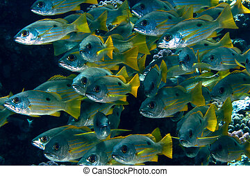 Ehrenberg's snappers - School of Ehrenberg's snappers...