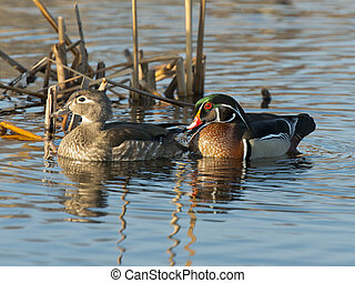 Wood Duck Pair - Pair of Wood Ducks in the spring