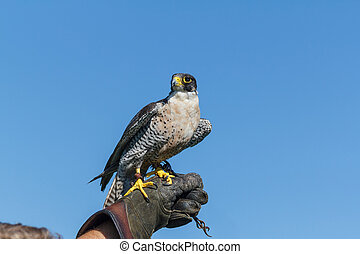 Peregrine Falcon Resting - A peregrine Falcon resting on the...
