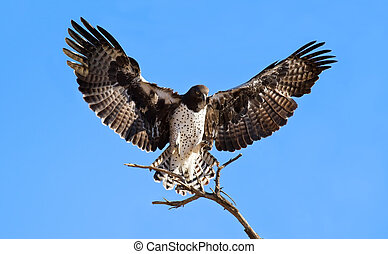 Martial eagle landing on perch dead tree blue sky