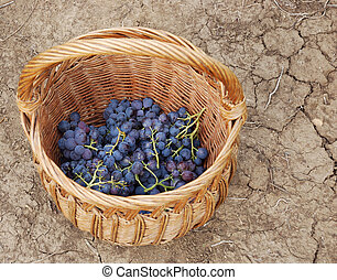 Grapes - a basket and grapes in it on the ground
