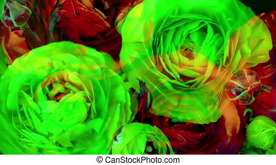 timelapse of a red ranunculus asiaticus (persian buttercup)...