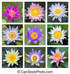 Blooming lotus flower - set 1 - Close up multi color...