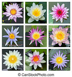 Blooming lotus flower - set 2 - Close up multi color...