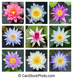 Blooming lotus flower - set 3 - Close up multi color...