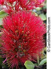 Flowers of the Pohutukawa Tree (Metrosideros excelsa) -...
