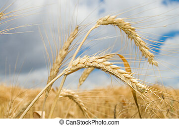 ear of wheat with dark blue sky on a background