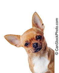Chihuahua dog on white background - chihuahua dog isolated...