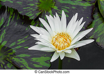 Blooming lotus flower - Close up blooming water lily or...