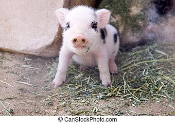 one week old piglet
