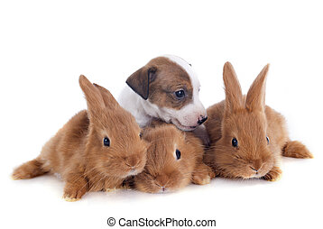 bunnies and puppy - young rabbits fauve de Bourgogne and...