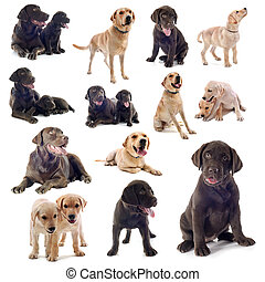 group of labrador retriever on a white background