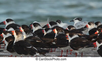 a large flock of black skimmer birds in ria largartos,...