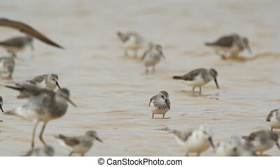 flock of small bird in the waters edge in ria largartos,...