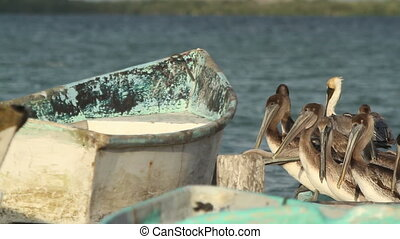 Brown pelicans in ria largartos, mexico