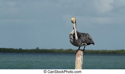 Brown pelican by the lagoon in ria largartos, mexico