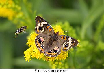 Common Buckeye Butterfly And Bee - Common Buckeye Butterfly...