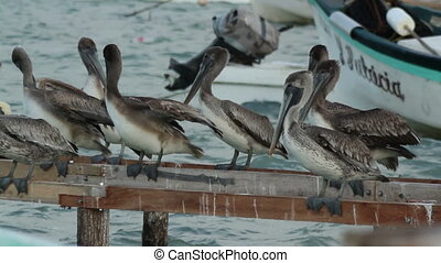 Brown pelicans and other birdlife at ria largartos, mexico
