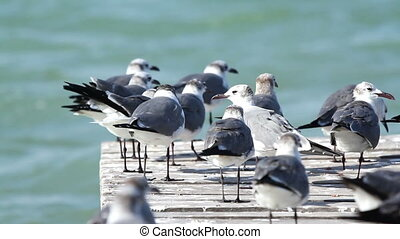 a flock of laughing gulls on a pier in ria largartos, mexico...
