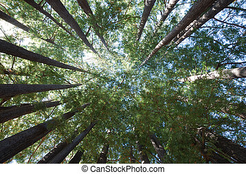 Redwood Tree Grove - Redwood Trees Pointing Towards Sky in a...