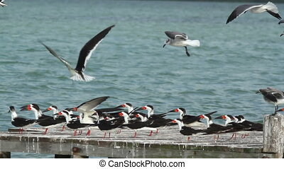 a large flock of black skimmer birds in ria largartos, mexico