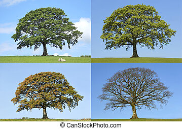 Oak Tree Four Seasons - Oak tree in the four seasons of...