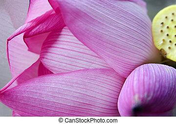 Pink Lotus Petal Bud Hong Kong Flower Market - Pink Lotus...