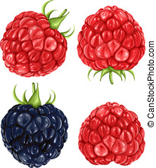 Raspberries and blackberry - Vector illustration of...