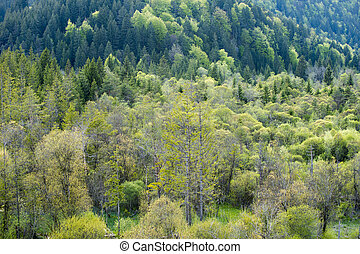 view into lot of green needle and deciduous trees