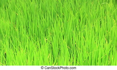 Waving rice plant