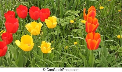 tulips waving in the wind with song birds singing in the...