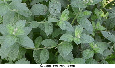 mint plant herb leaf