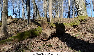 forest old trees - spring morning in the forest of dry leaf...