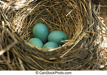American Robin nest with eggs - American Robin (Turdus...