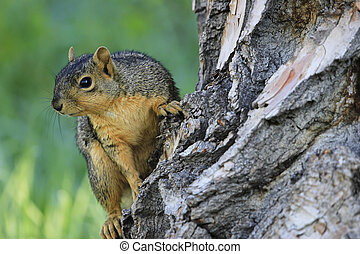 Eastern fox squirrel Sciurus niger on a tree