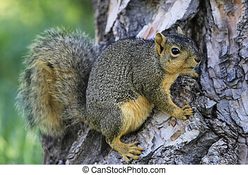 Eastern fox squirrel (Sciurus niger) on a tree