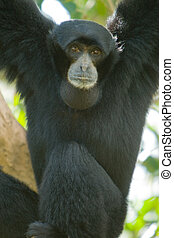Siamang - Close-up of a black Siamang Symphalangus...
