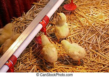 bebê, galinha