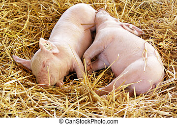 Piglets - Young piglets snoozing