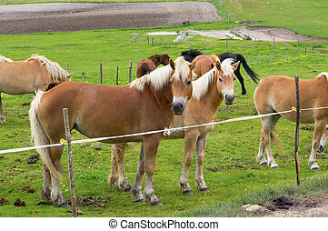 Herd of horses of various colors in the mountains of Italy.