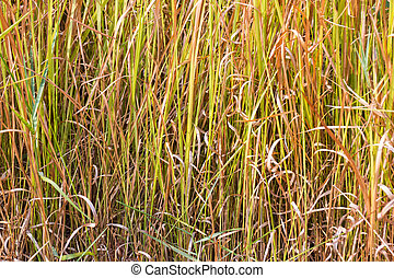 Vetiver grass background - Close up of vetiver grass...