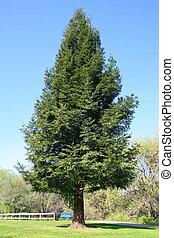 secoya, árbol