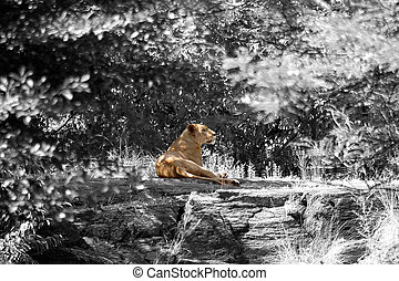 Female Lion Resting - A lion laying down on a large rock in...