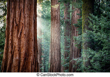 Giant Sequoias in early morning light - Early morning...