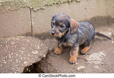 Small brown dachshund closeup - Closeup of baby Dachshund,...