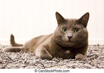 gray cat - portrait of a kitten cat lying on the gray carpet