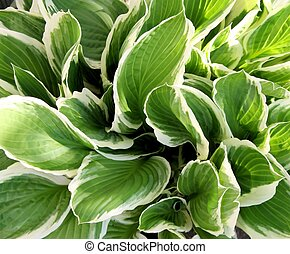 Hosta - Variegated Hosta - lush and healthy