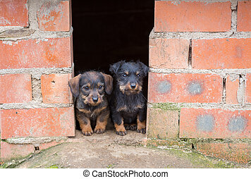 Small brown dachshunds - Closeup of baby Dachshund dogs at...